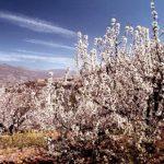El Valle del Jerte: Los Cerezos en Flor